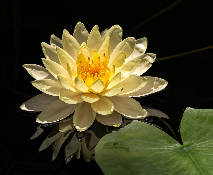 13th Annual Waterlily Celebration