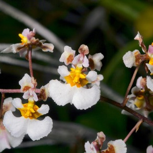 Endangered Florida Dancing Lady Orchid In Coastal Trees