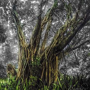 500 Year Old Banyan