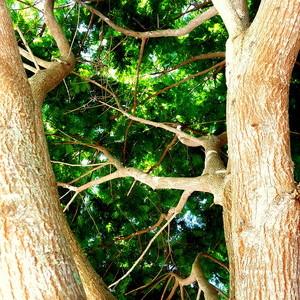 Mimosa Tree Vero Beach
